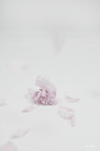 Cherry blossoms were scattered © 2012 arha - Tomomichi Morifuji.