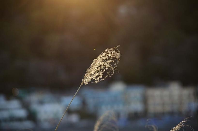 夕日のススキ