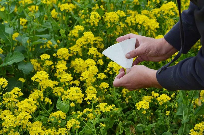 アウトドアコーヒー 菜の花畑 2