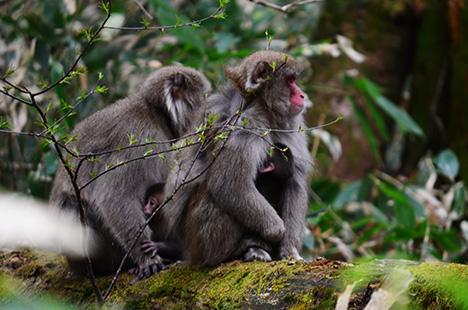 上高地 2014 春 野猿 03
